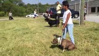 Dog Aggression Play Drive Exercises ( Protection Dog Training )