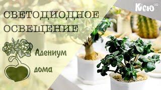 Адениум дома: Светодиодное освещение комнатных растений.(Сайт