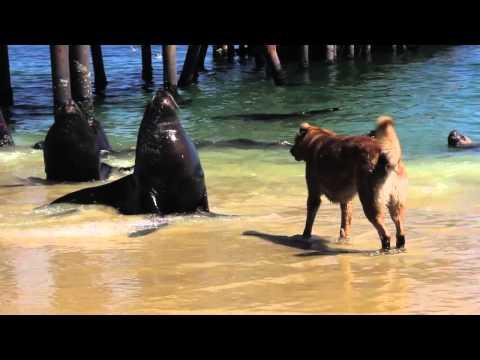Sea Lion Barks At Dog