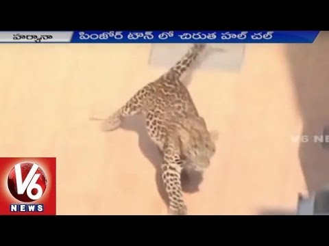 Cheetah Raised Panic in Haryana   Forest Officers Came into Action   V6 News