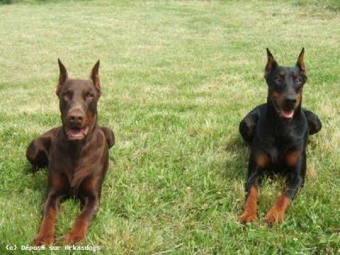 Les chiens de garde - YouTube