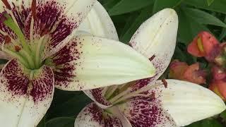 Вот такие лилии цветут у нас на даче(, 2018-07-17T00:51:29.000Z)