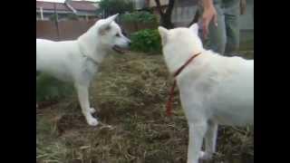 紀州犬の母フウ(2歳4ヶ月)と息子ハツ(もうじき7ヶ月)の戦い まだま...
