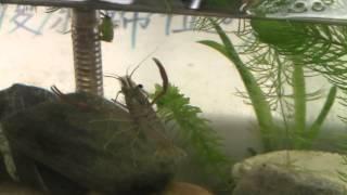 蝦子如何在水中運動(游水行進)