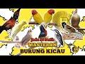 Masteran Favorit Burung Cililin Kenari Ciblek Pelatuk Gereja Konin Jenggot Kapas Tembak Lovebird  Mp3 - Mp4 Download