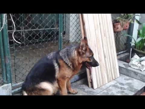 Xita - Trại chó Becgie Đức Trần Gia ĐT 0904160476