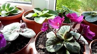 Кратко. Бабушка Лида: фиалки начинают расцветать.
