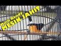 Suara Burung Aksi Murai Borneo Mj Mesin Jahit Milik Rendy Di Event Mandiri Cup   Mp3 - Mp4 Download