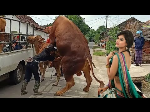 Muraa cow meet । cow and horse meet and covering first time Milan । cow amazing fantastic super