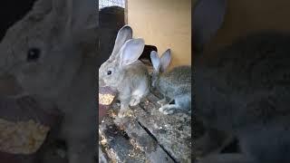Мое мнение о породе Серый Великан.Чем кормлю кроликов.