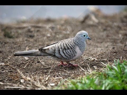 Chim cu gáy giọng thổ hay   Cu gáy hay   Cuckoo breeding territory or - [ANIMAL]