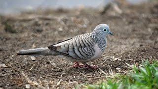 Chim cu gáy giọng thổ hay | Cu gáy hay | Cuckoo breeding territory or - [ANIMAL]