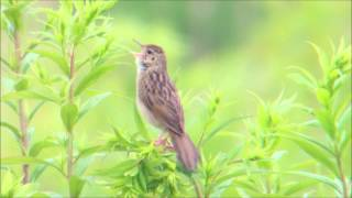 Feldschwirl Lanstrop Grasshopper Warbler