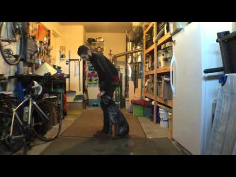 In home dog training: Focused heel