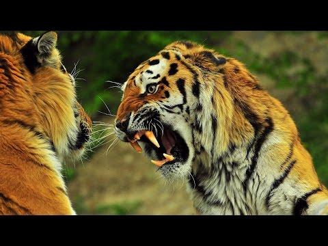 Tiger VS Lion (Roar)