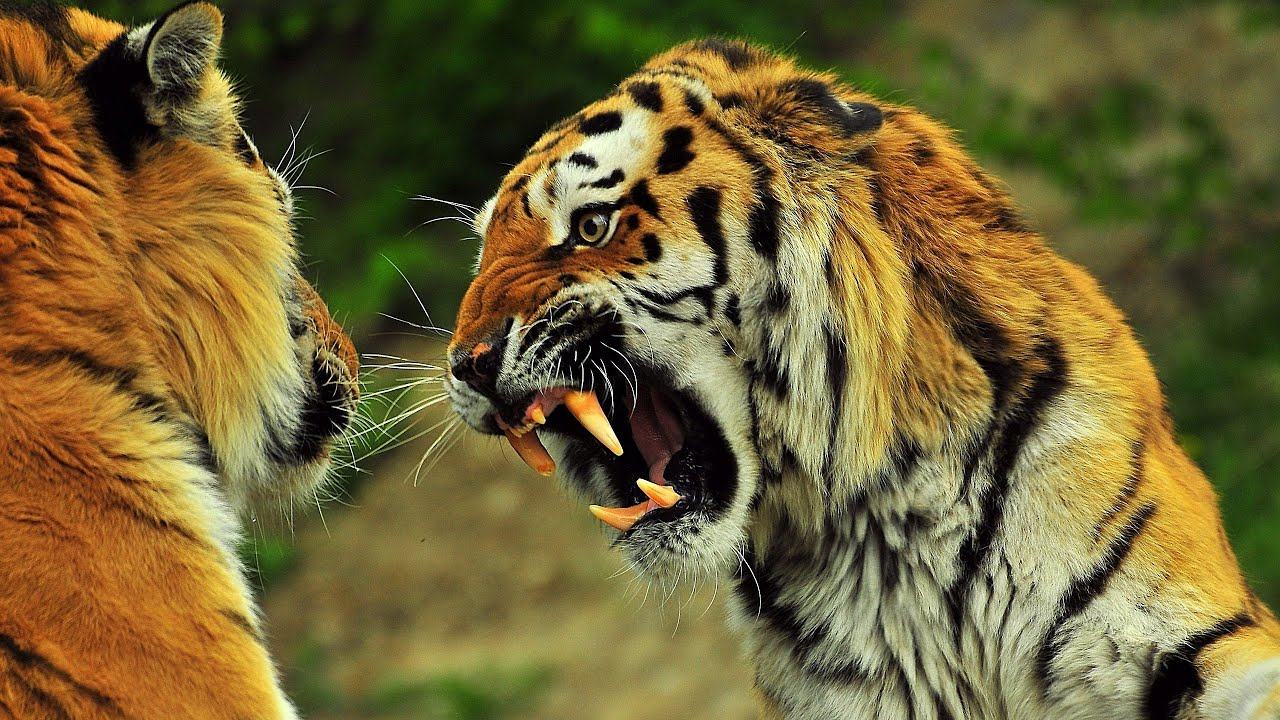 tiger vs lion (roar) - youtube