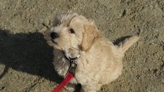 Henry - Goldendoodle puppy - 3 Week Residential Dog Training at Adolescent Dogs