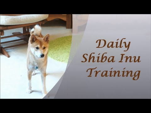 Daily Shiba Inu Training - with Milo and KKRae