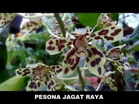 Cara Menangkarkan Bunga Anggrek Macan Flower Of Tiger Orchid Youtube