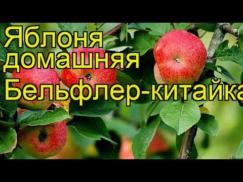 Сорт яблок Бельфлер китайка описание, фото, отзывы | 360x480