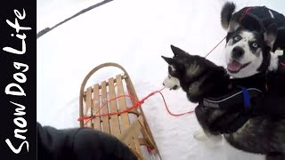 Dog sledding with huskies! It's not always easy..