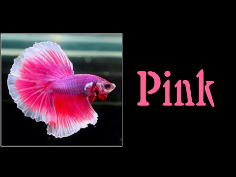 All 12 Colors Of Betta Fish Are Shown In This Video | Select Your Most Favourite Colour