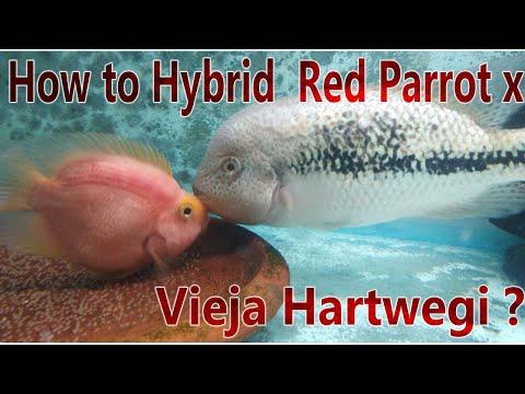 How To Hybrid Red Parrot  Cichlid X Vieja Hartwegi Cichlid ?