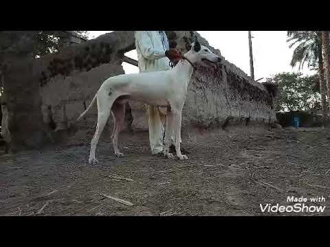Sindhi Dog Youtube