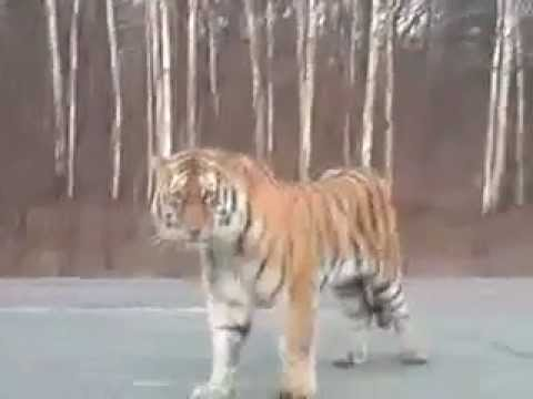 Tiger Attacks Cars in Russia [RAW VIDEO]