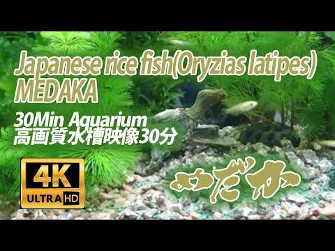 【水槽映像】メダカアクアリウム 高画質 4K