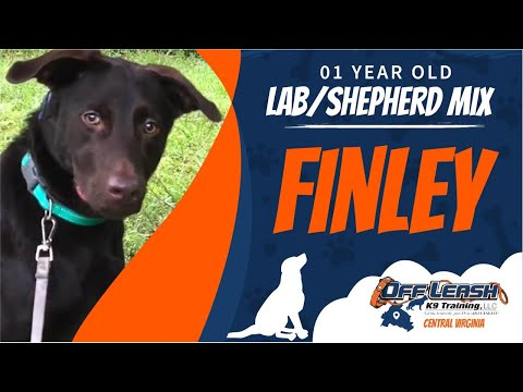 1Yo Lab/Shepherd Mix (Finley) / Off Leash K9 Training / Best Dog Trainers/ Richmond, VA