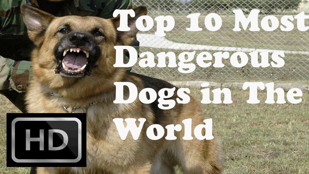 Top 10 - Most Dangerous Dogs in The World - YouTube
