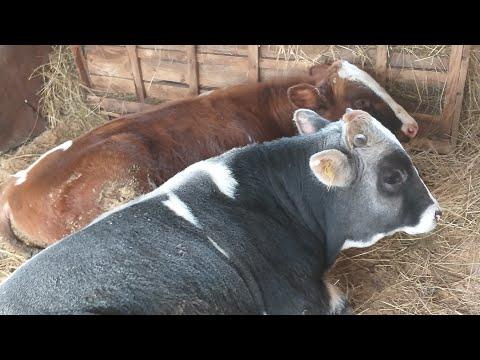 Откорм крс на мясо в домашних условиях