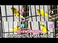 Review Gacoran Di Lapak Mas Tri Di Pasar Burung Gawok Cek Harga Burung Kenari Terbaru   Mp3 - Mp4 Download