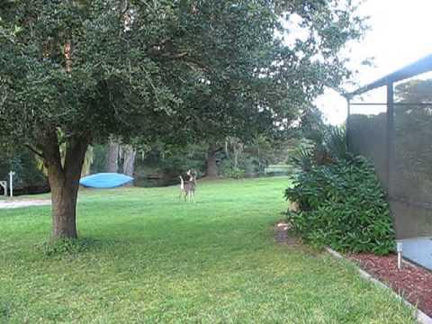 Three Really Nice Buck In The Yard  Scott Great Animals Backyard