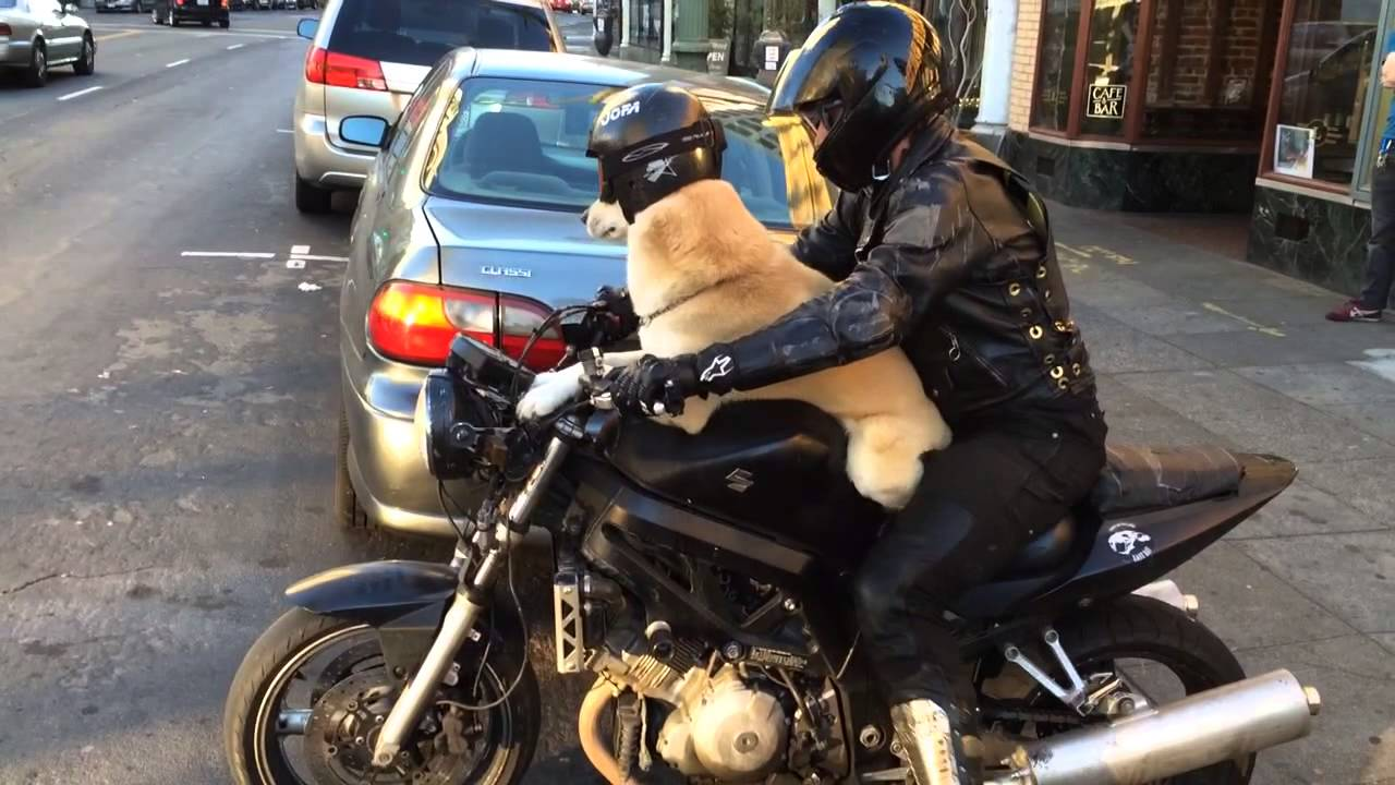 Dog dons helmet and go...