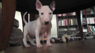 mini bull terrier - Zelda - first day home !