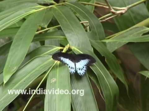Blue Mormon or Papilio polymnestor