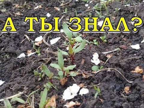 КАК вырастить вкусную СВЕКЛУ? СЕКРЕТЫ хорошего урожая!