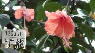 Bunga Raya Bunga Kebangsaan-Hibiscus Flower (Malaysia