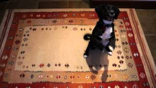 Patterdale Cross Cocker Spaniel - Tricks