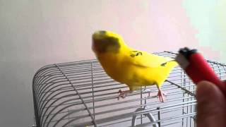 Çok net konuşan Muhabbet kuşu-Cafer Özbek