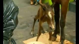 Ègua granfina que puxava carroça dá à luz em plena avenida Franscisco Junqueira, Ribeirão Preto