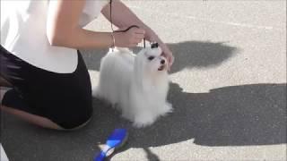 Мальтезе, видео с выставки собак