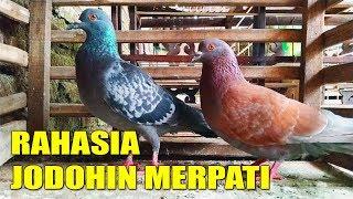 Download Video MUDAHNYA MENJODOHKAN BURUNG MERPATI INI #MERPATIKU MP3 3GP MP4