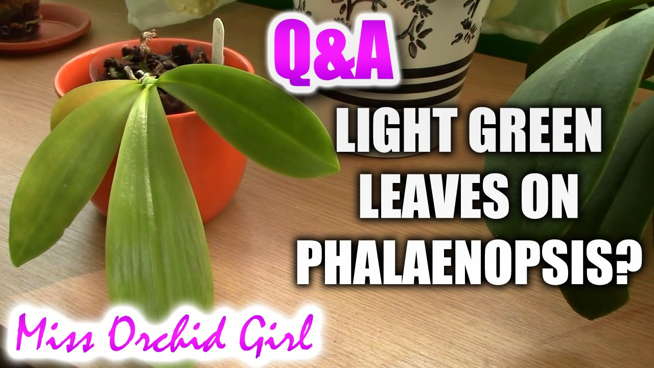 Qa Does The Colour Of Phalaenopsis Orchids Leaves Mean Anything