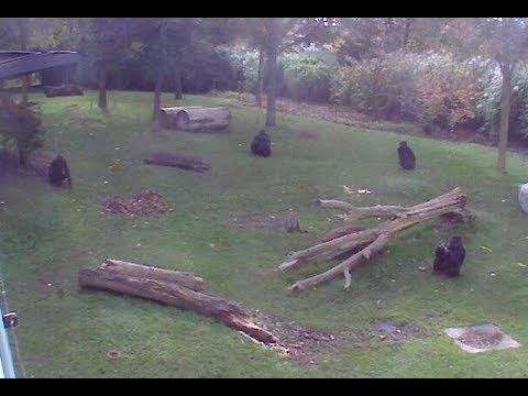 Live WebCam Gorillas