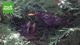 Blackbird Nest Time Lapse - Gopro Hero4
