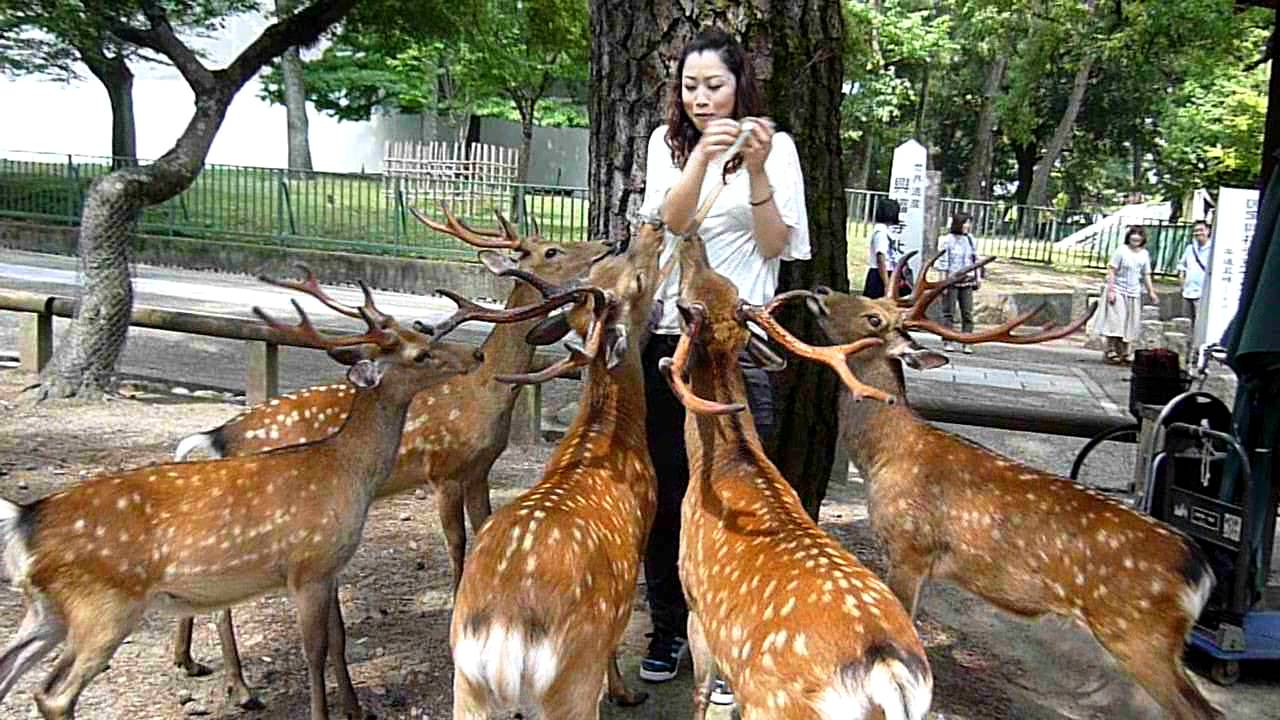 Feeding deer in Nara park - YouTube
