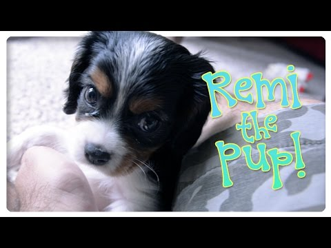 Remi the Pup! 8 Week Old Cavalier King Charles Puppy!